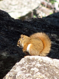 Red squirrel at Devil's Tower