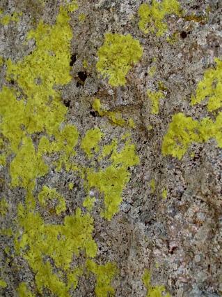 Sulphur-rich lichen at Devil's Tower